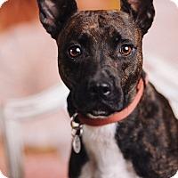 Adopt A Pet :: Brandy - Portland, OR