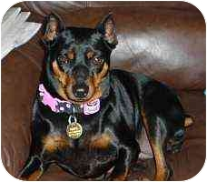Miniature Pinscher Dog for adoption in Florissant, Missouri - NuNu