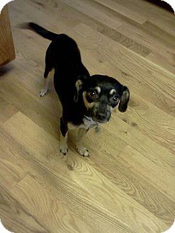 Chihuahua Mix Dog for adoption in Sheridan, Oregon - Pepito