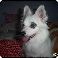 Adopt A Pet :: Bandit - chandler, AZ