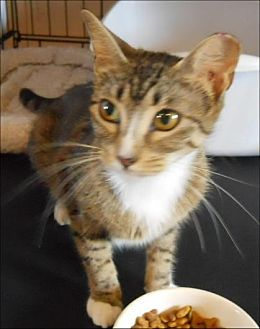 Domestic Shorthair Cat for adoption in San Antonio, Texas - Maybelle