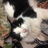 Domestic Longhair Cat for adoption in Fresno, California - Happy