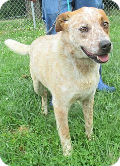 Blue Heeler Mix Dog for adoption in Reeds Spring, Missouri - Dodger
