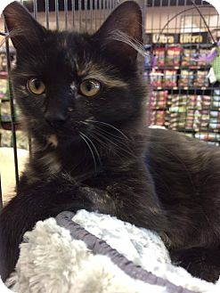 Domestic Shorthair Kitten for adoption in THORNHILL, Ontario - Cakepop