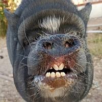 Adopt A Pet :: Kosha - Las Vegas, NV
