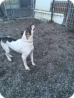 Foxhound/Pointer Mix Dog for adoption in North Pole, Alaska - Betty