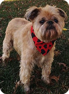 Brussels Griffon Dog for adoption in Overland, Kansas - MISS LACY- Adopted