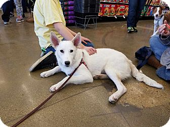 Canaan Dog Mix Dog for adoption in Hainesville, Illinois - Nat