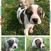 Adopt A Pet :: Tommy $250 - Seneca, SC