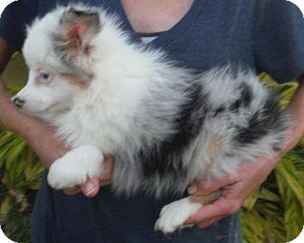 Australian Shepherd Puppy for adoption in Flanders, New Jersey - Petie Deaf