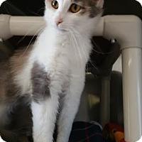 Adopt A Pet :: Blossom - Chippewa Falls, WI