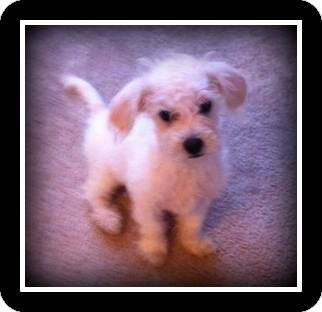 Poodle (Miniature)/Schnauzer (Miniature) Mix Puppy for adoption in Indian Trail, North Carolina - Ace