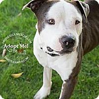 Adopt A Pet :: Harvey - Scottsdale, AZ