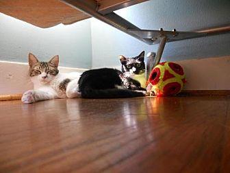 Domestic Mediumhair Cat for adoption in Houston, Texas - Bailey
