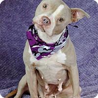 Pit Bull Terrier Dog for adoption in Lawrenceville, Georgia - Franzi