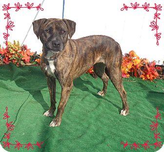 Plott Hound/Labrador Retriever Mix Dog for adoption in Marietta, Georgia - ALESHA (R)