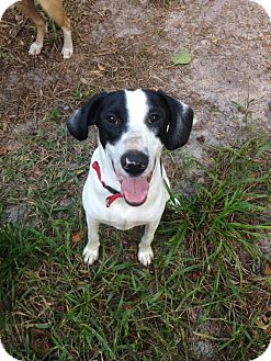 Pointer/Hound (Unknown Type) Mix Dog for adoption in Groveland, Florida - Rio
