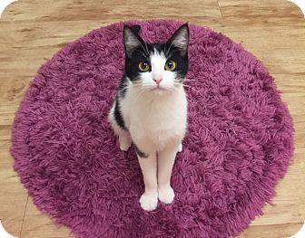 Domestic Shorthair Cat for adoption in New Braunfels, Texas - Ciara