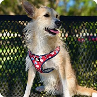 Adopt A Pet :: Foxy - Key Biscayne, FL