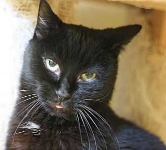 Domestic Shorthair Cat for adoption in Canoga Park, California - Inky