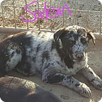 Catahoula Leopard Dog/Labrador Retriever Mix Puppy for adoption in Albany, North Carolina - Salem