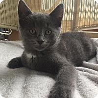 Adopt A Pet :: Iggy - Rochester Hills, MI