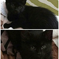 Adopt A Pet :: Black baby - Virginia Beach, VA