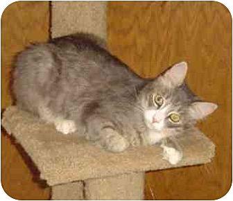 Domestic Mediumhair Cat for adoption in Elk Grove, California - Hamlet