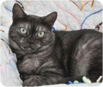 American Shorthair Cat for adoption in Davis, California - Coy (Smoke Sisters)