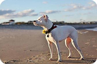 American Staffordshire Terrier/Boxer Mix Dog for adoption in Long Beach, New York - Lola