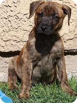 Terrier (Unknown Type, Medium)/Catahoula Leopard Dog Mix Puppy for adoption in Gilbert, Arizona - Reese's