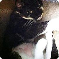 Domestic Shorthair Cat for adoption in Boca Raton, Florida - Thirteen