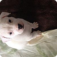 Adopt A Pet :: Marshmallow - Dallas, TX