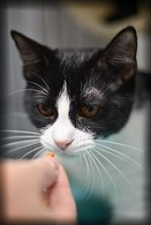 American Shorthair Cat for adoption in New Orleans, Louisiana - Amy