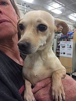 Terrier (Unknown Type, Medium)/Chihuahua Mix Dog for adoption in Fresno, California - Alexis