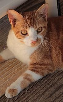 Domestic Shorthair Cat for adoption in Freeport, Florida - Munchkinn