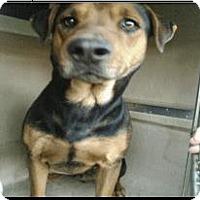 Rottweiler Mix Dog for adoption in San Antonio, Texas - 366986  Draco