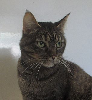 Domestic Shorthair Cat for adoption in Jackson, Missouri - TIGGER