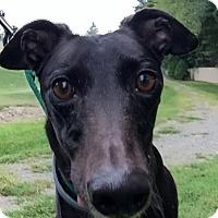 Adopt A Pet :: Roxy - Swanzey, NH
