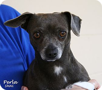 Chihuahua Mix Dog for adoption in Santa Maria, California - Perla