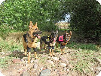 German Shepherd Dog Dog for adoption in Phoenix, Arizona - TRAINED COMPANION SERVICE DOG