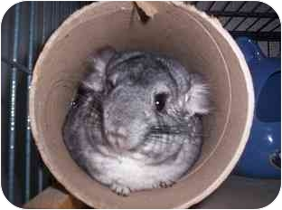 Chinchilla for adoption in Avondale, Louisiana - Basil