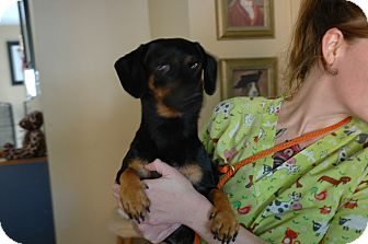 Dachshund Mix Dog for adoption in San Antonio, Texas - Frankie