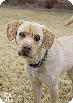 Beagle Mix Dog for adoption in Gardnerville, Nevada - Riley
