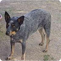 Adopt A Pet :: Velma - Phoenix, AZ