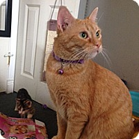 Adopt A Pet :: Paris(rare orange female)deaf - Sterling Hgts, MI