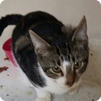 Adopt A Pet :: Greedo - Troy, OH