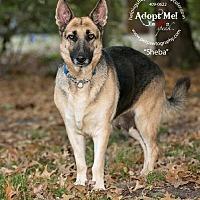 Adopt A Pet :: Sheba - Montgomery, AL