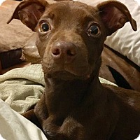 Adopt A Pet :: Willy Wonka - Newtown, CT