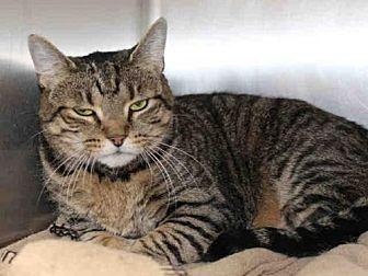 Domestic Mediumhair Cat for adoption in Hampton Bays, New York - COOKIE